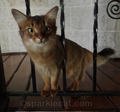 somali kitten looking through railing