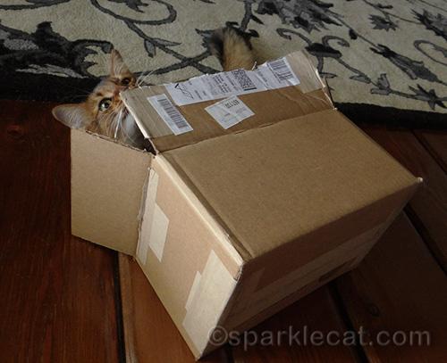 somali kitten playing in box