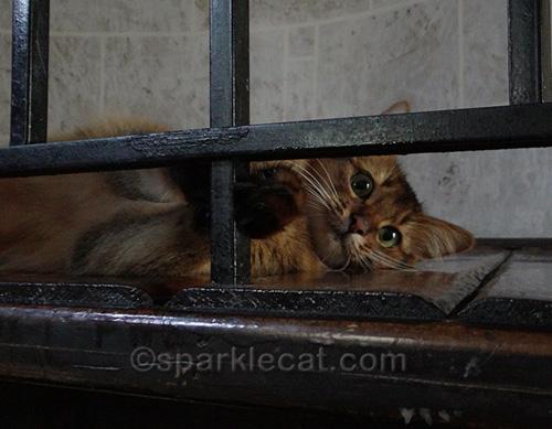 playful somali kitten