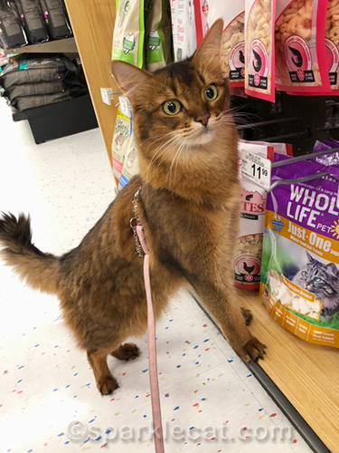 somali cat at treat section of pet store