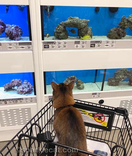somali cat looking at fish at pet store