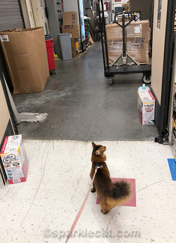 somali cat wants to enter pet store warehouse