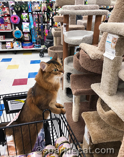 somali cat looking at cat trees at pet store