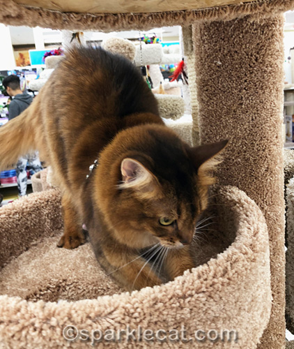 somali cat sampling a cat tree at pet store