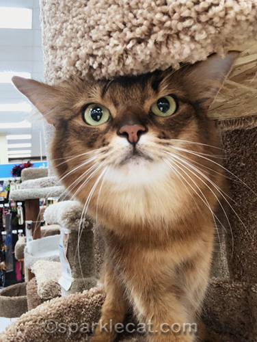 somali cat selfie on pet store cat tree