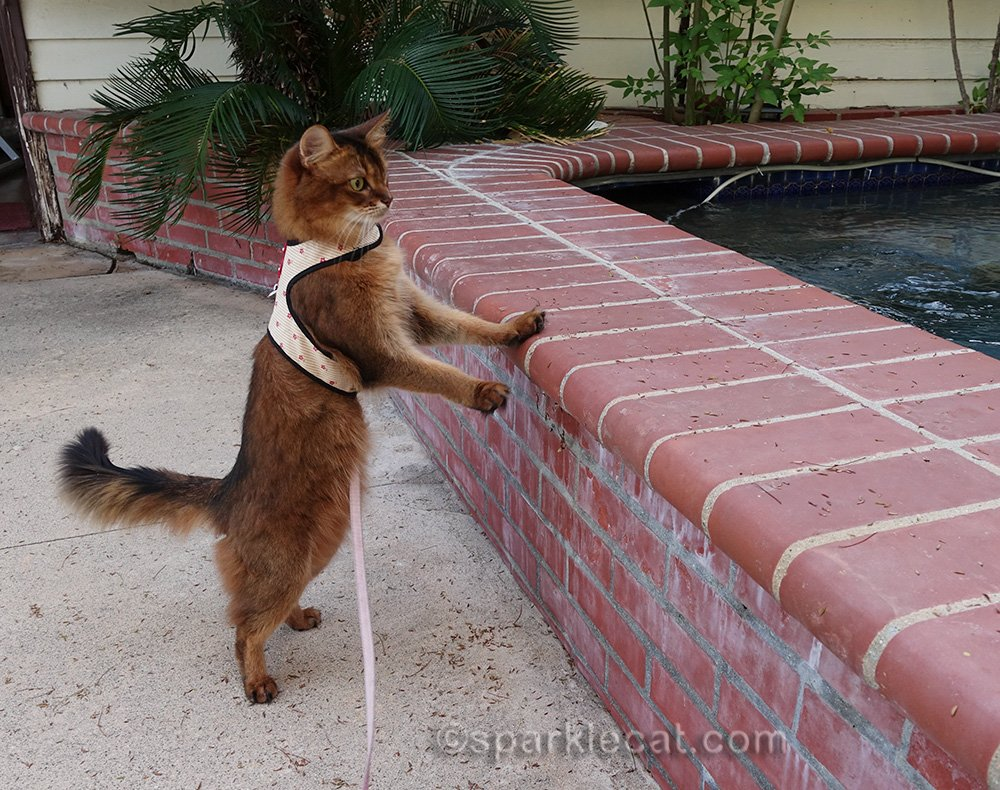 somali cat on a leash staring at spa cycling
