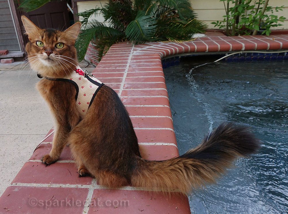 Somali cat in pretty harness, sitting on edge of the spa
