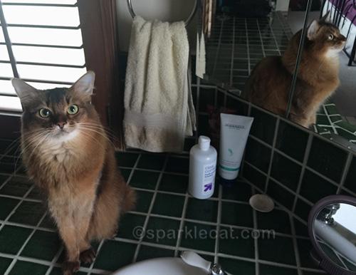 somali cat getting ready to take mirror selfies