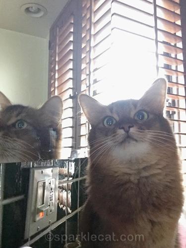somali cat taking a mirror selfie