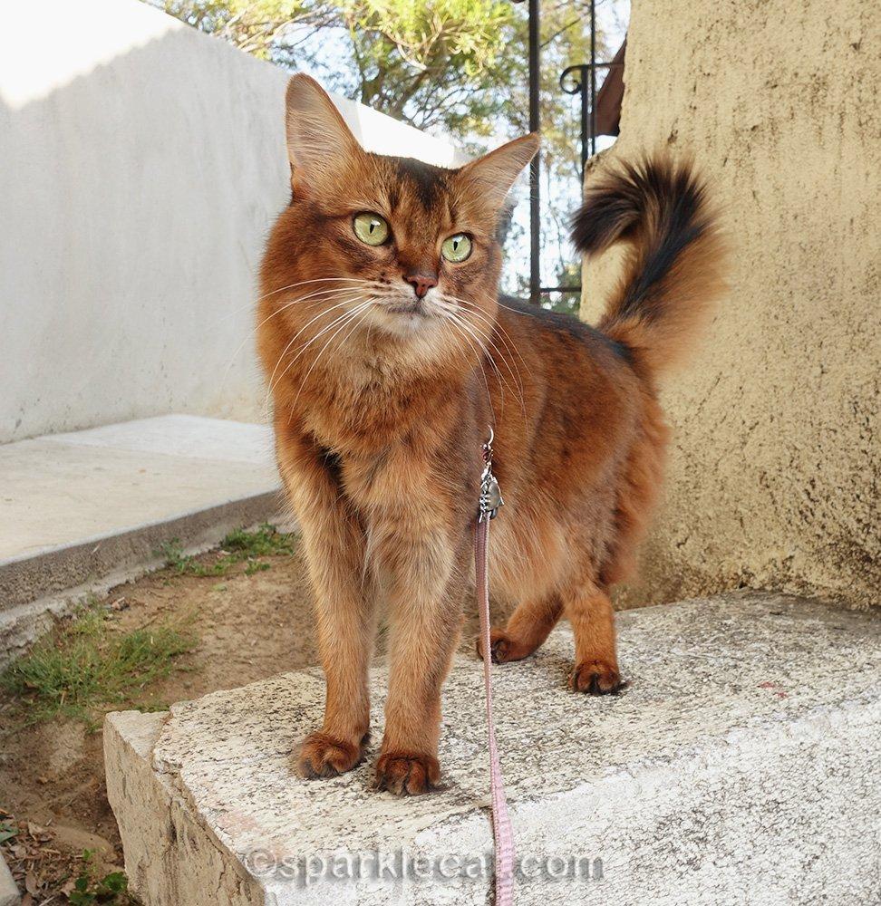 somali cat standing on stucco platform