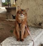 somali cat posing for outside photo session