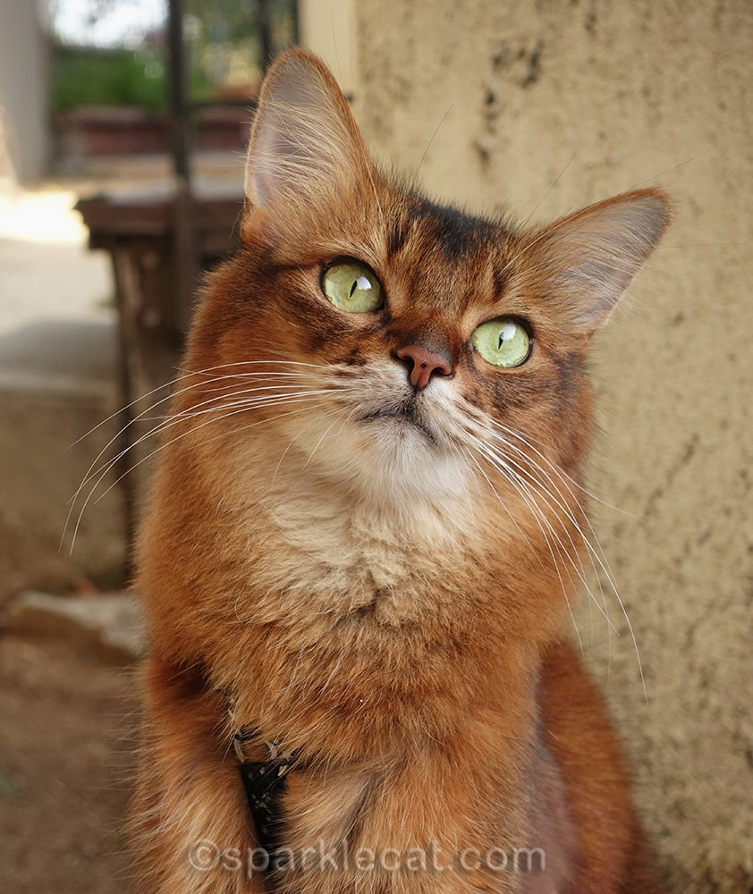 close up of somali cat during outside photo session