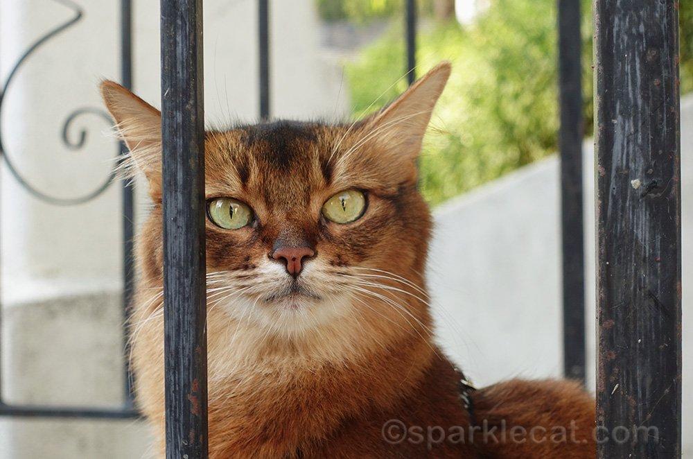 somali cat by iron railing, looking a bit fierce