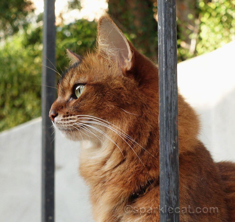 beautiful profile of somali cat