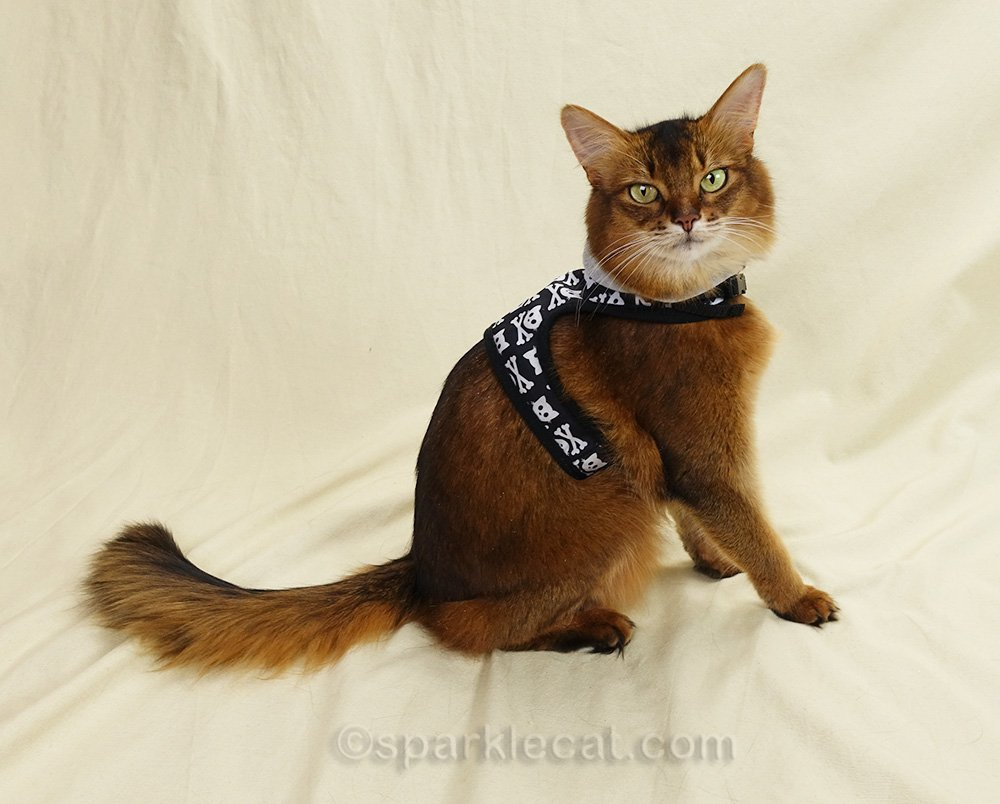 somali cat wearing cat skull harness