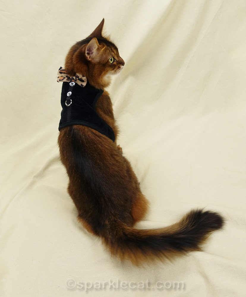 somali cat wearing semi-formal black velvet harness