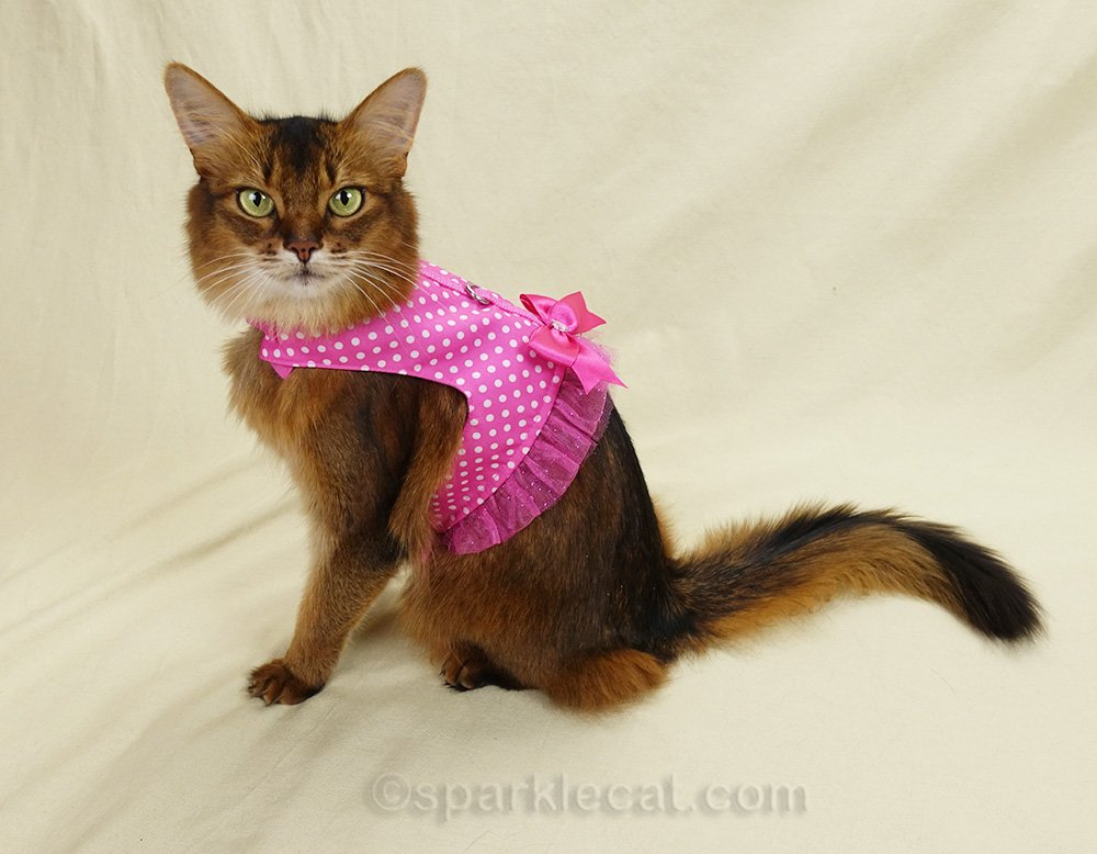 somali cat in cute but large cat harness