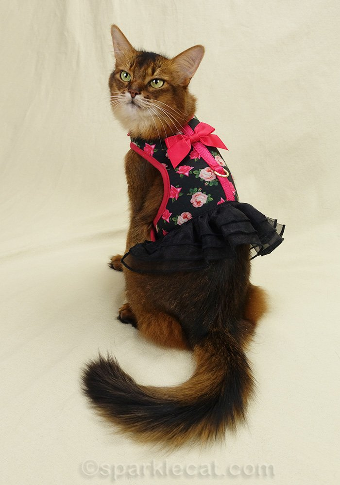 somali cat wearing pretty but poorly designed cat harness