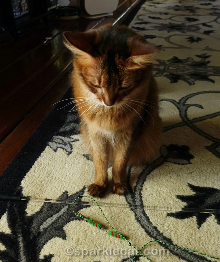 somali cat looks dejectedly at Cattipeed cat toy