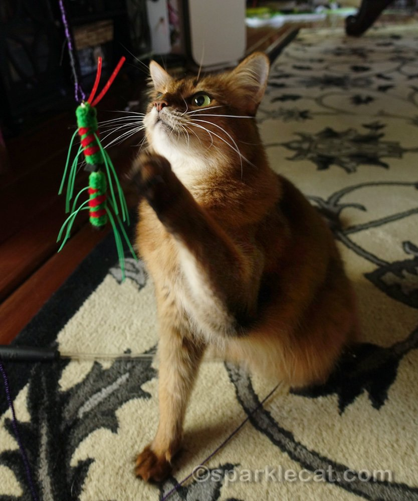 Somali cat excited to play with cat toy