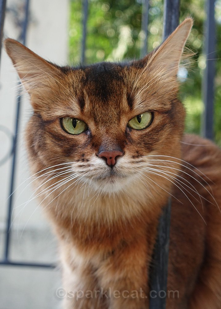 somali cat looking grouchy in close-up