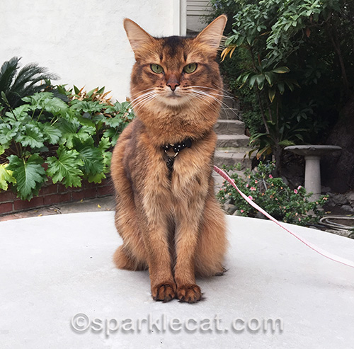 somali cat sitting on concrete table outside