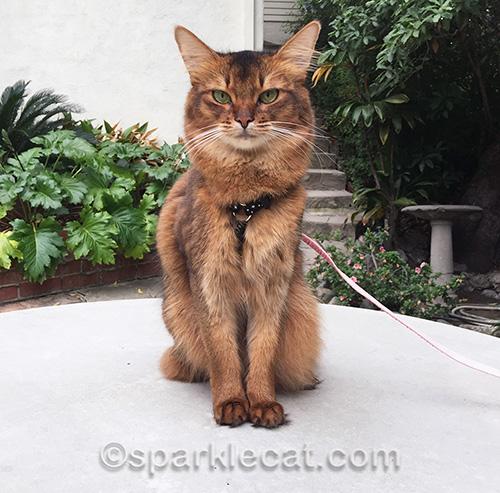 somali cat sitting on concrete table outside