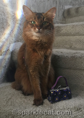 somali cat with little purse