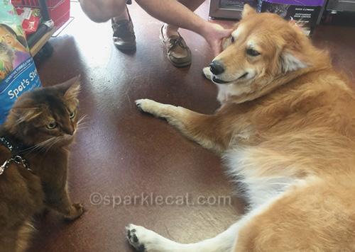 somali cat and large dog at pet shop