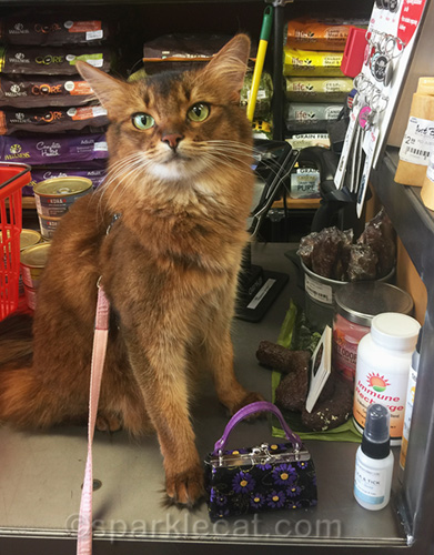 embarrassed somali cat on pet shop counter