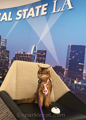 Therapy cat at Cal State L.A. has confessions to make