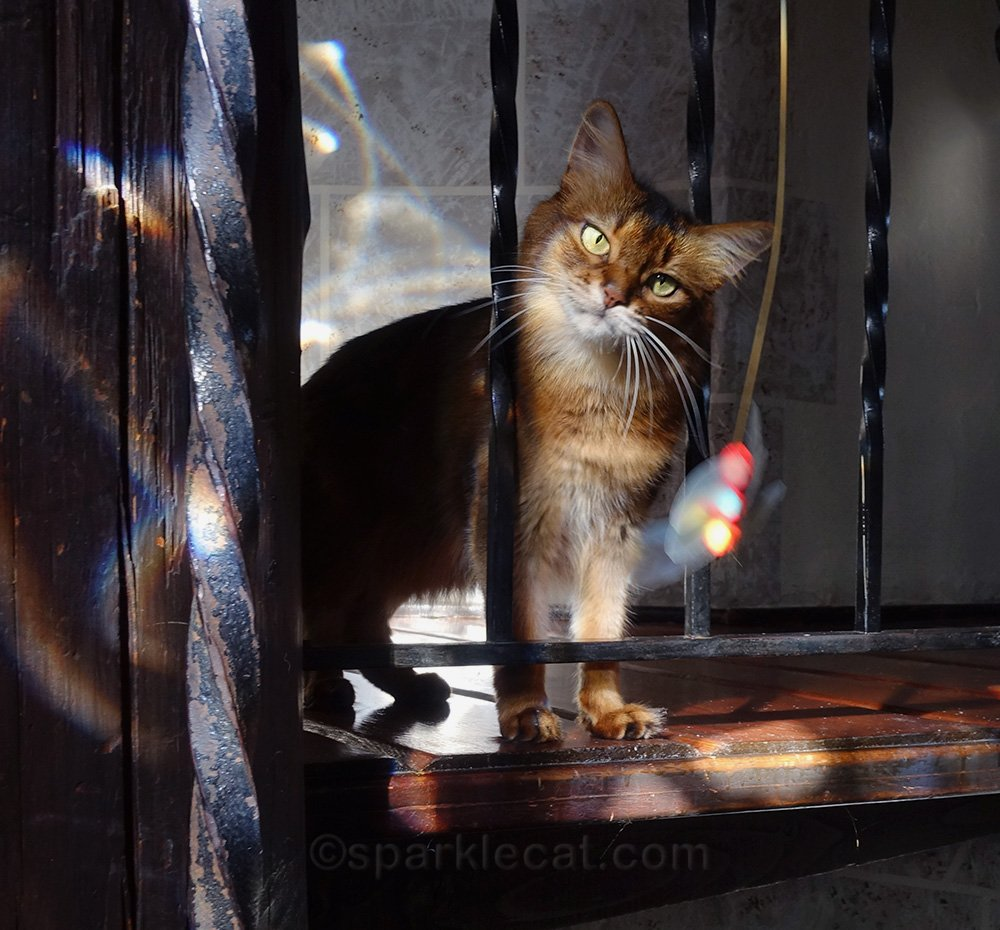somali cat eyeing cat toy with determination