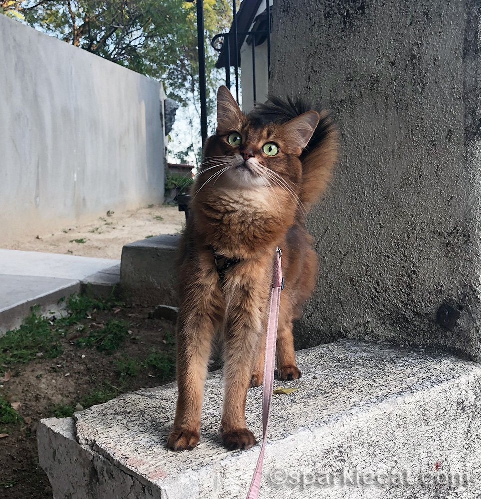 somali cat birdie watching outside