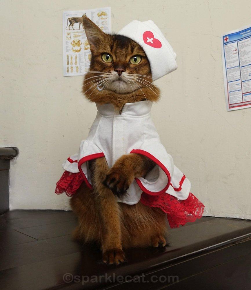 Somali cat in nurse's uniform, with one paw raised