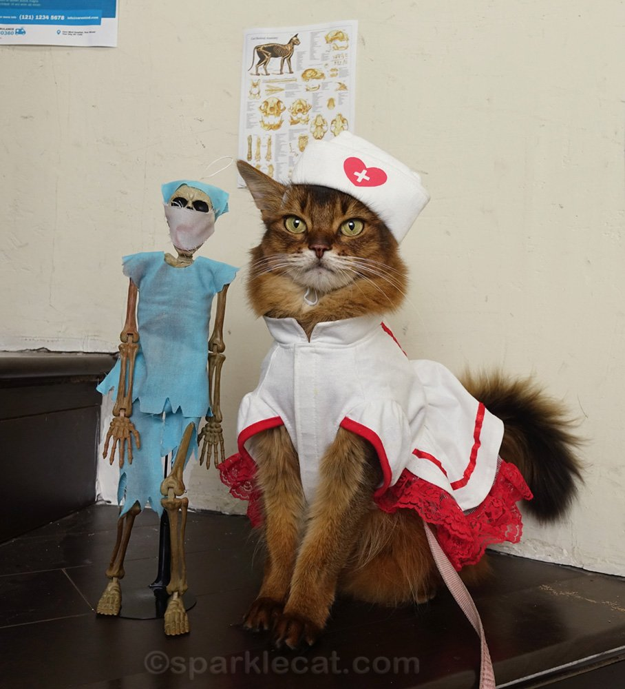 somali cat at attention with doctor skeleton