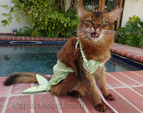 somali cat making horrible face with tongue