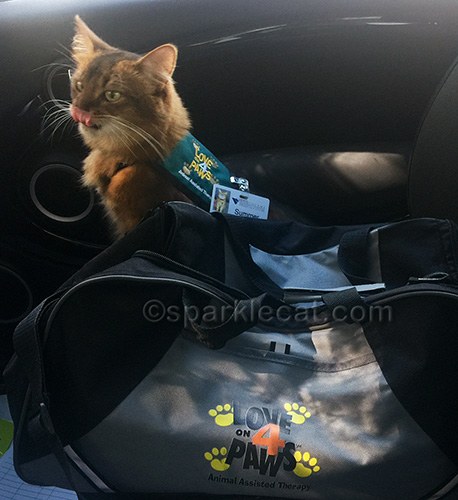 somali cat with therapy vest on with tongue sticking out