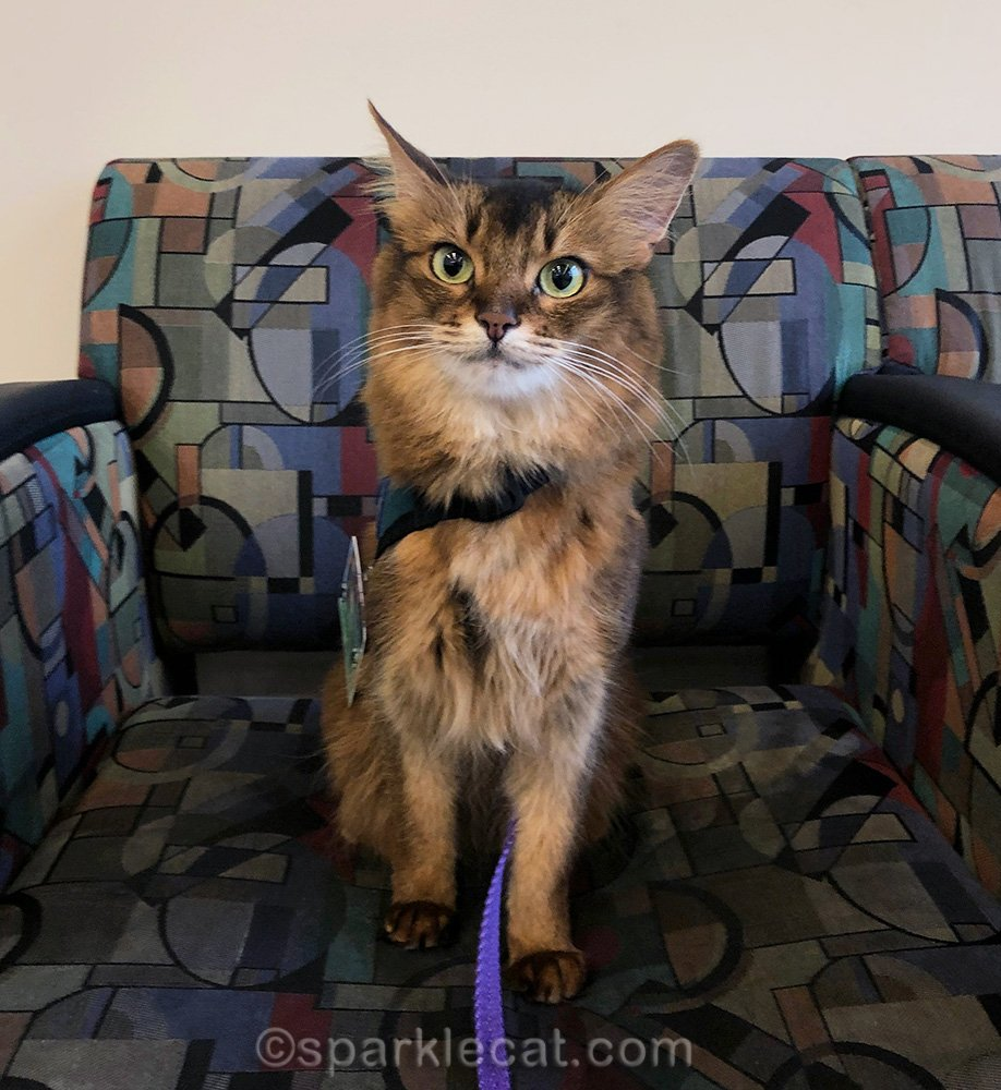 Somali cat not so sure about posing for photo.