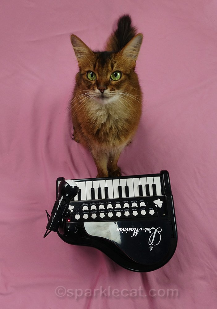 somali cat with piano, overhead shot