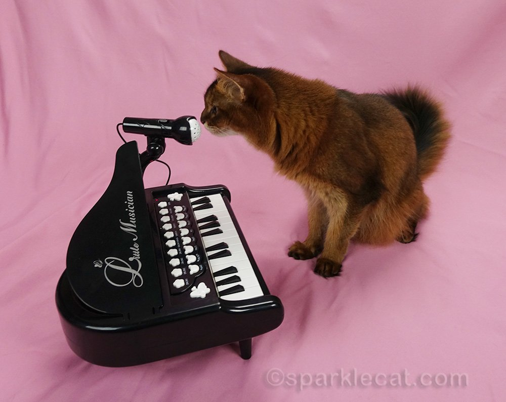 somali cat checking out microphone on piano