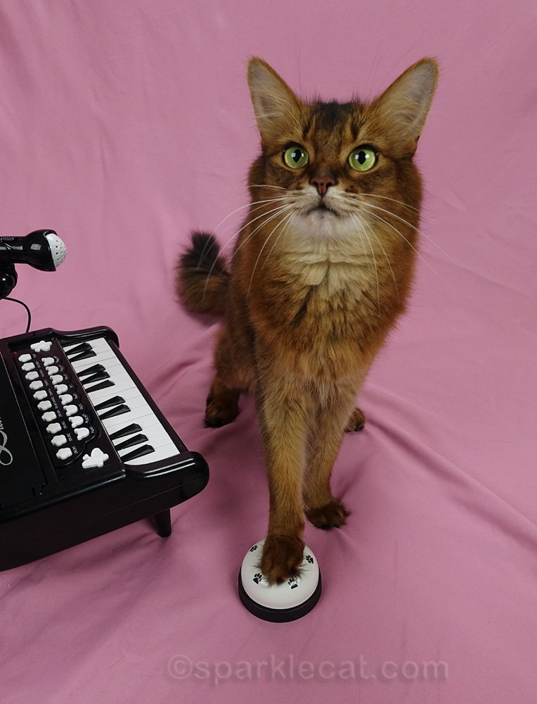 somali cat practicing ringing a bell before playing piano