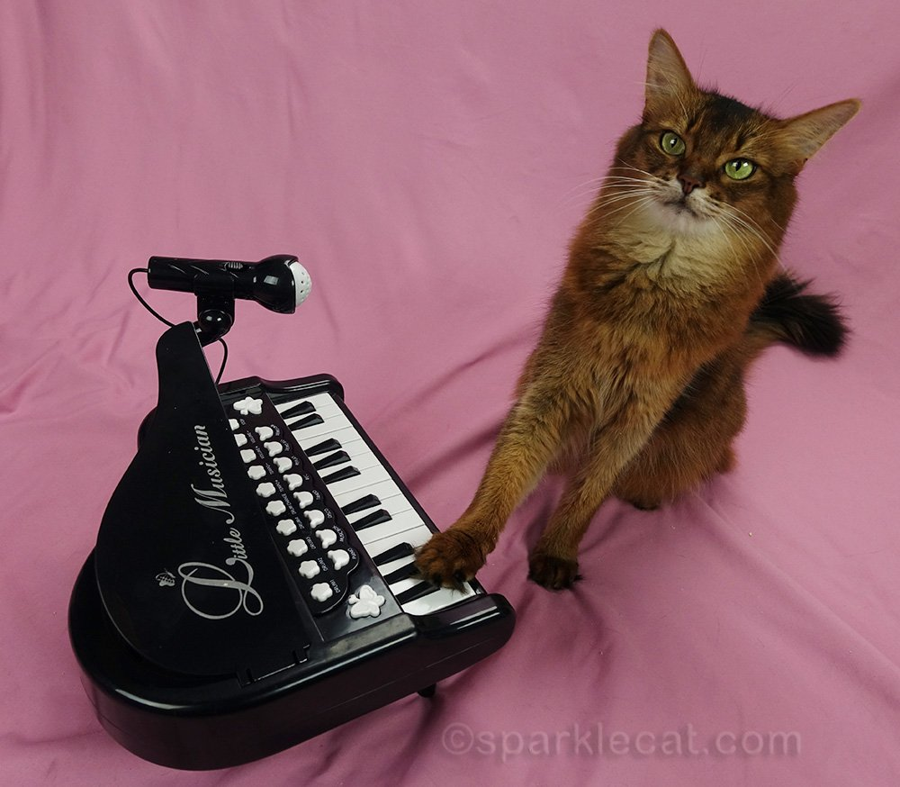 somali cat playing piano without bell on it