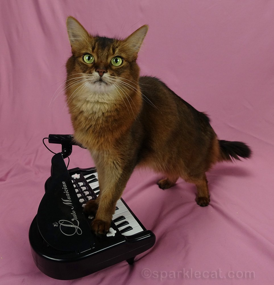 somali cat with her front paws on piano