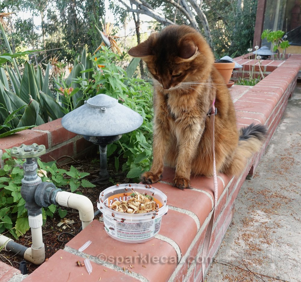 somali cat looking at lady bugs crawling out of the plastic container