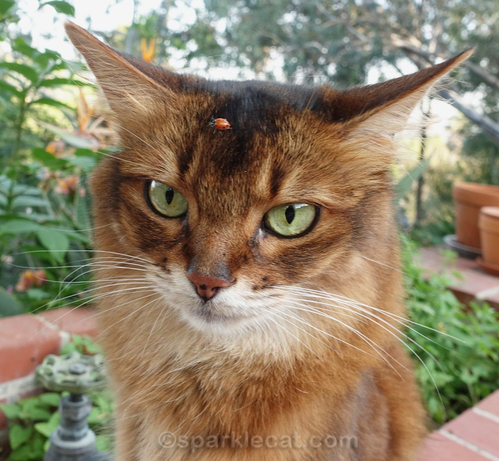 somali cat with ladybug on her forehead