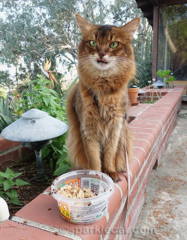 somali cat sticking out tongue at thought of even tasting a ladybug