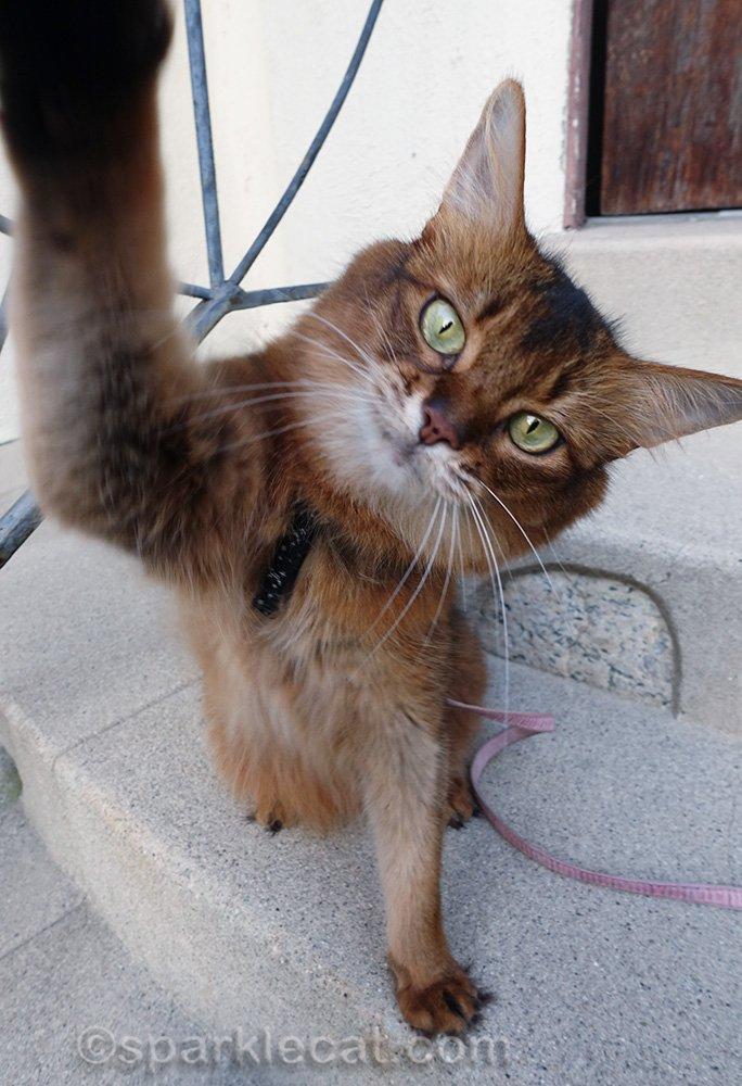 Somali cat giving High Five