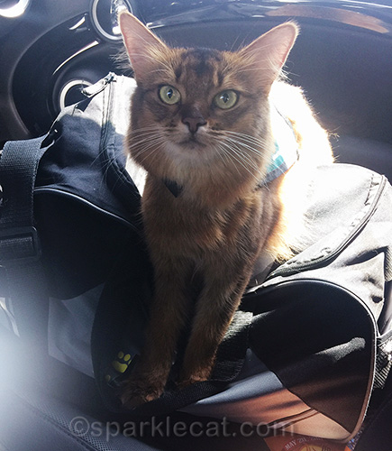 Therapy cat getting ready to visit college students