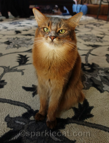 somali cat with freeze dried chicken powder on her face