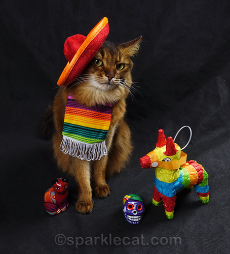 Somali cat feeling dubious about wearing cat-sized sombrero